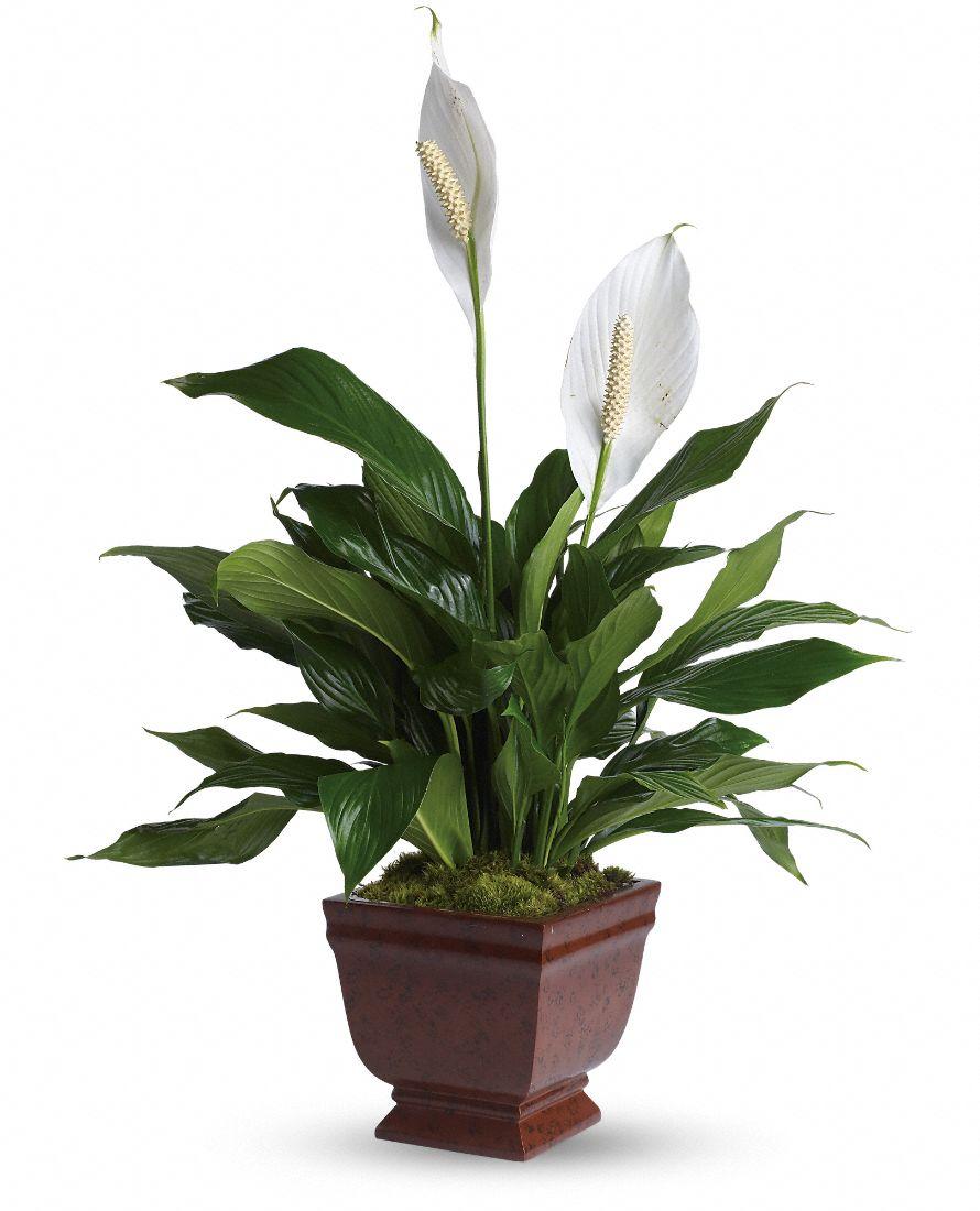 Lirio de la paz - peace lily - spathiphyllum