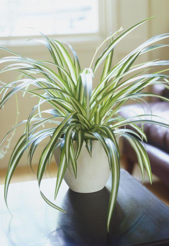 Planta araña 1 - spider plant - chlorophytum comosum