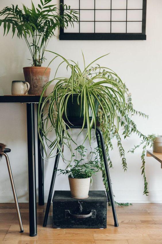 Planta araña 2 - spider plant - chlorophytum comosum