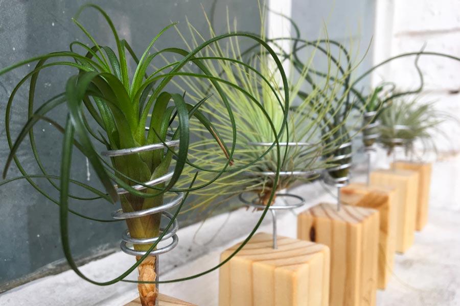 Tillandsia con pedestal vivo boreal - Pedestal para plantas ...
